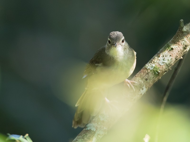 Pale-olive Greenbul