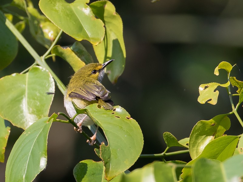 Yellow-browed Camaroptera