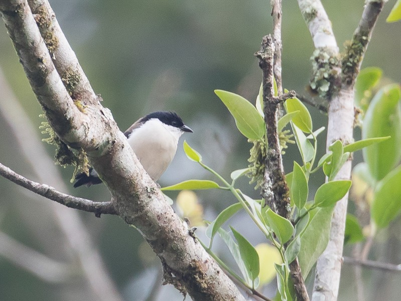 White-breasted Nigrita