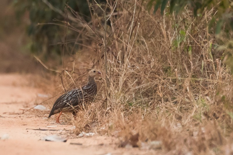 Grey-striped Francolin