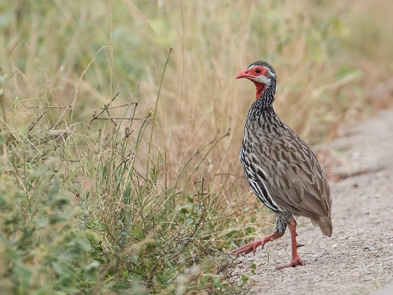 Red-necked Spurfowl, ssp afer