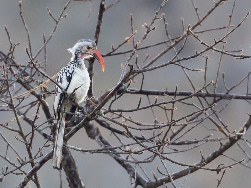 Damara Red-billed Hornbill