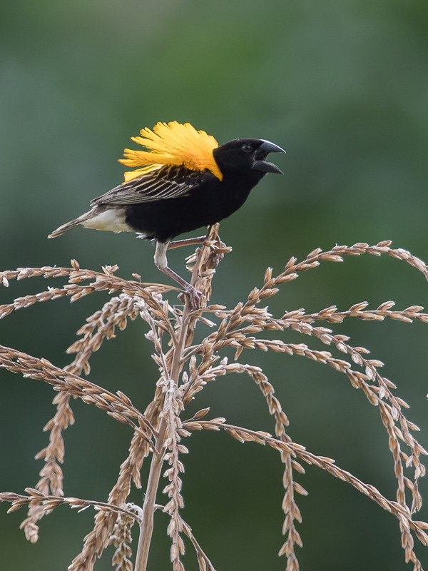 Displaying Golden-backed Bishop