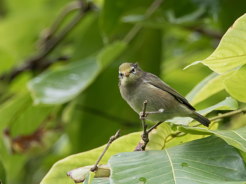 Sao Tome White-eye