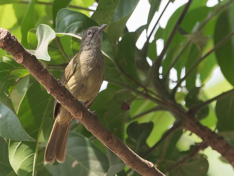 Little Grey Greenbul