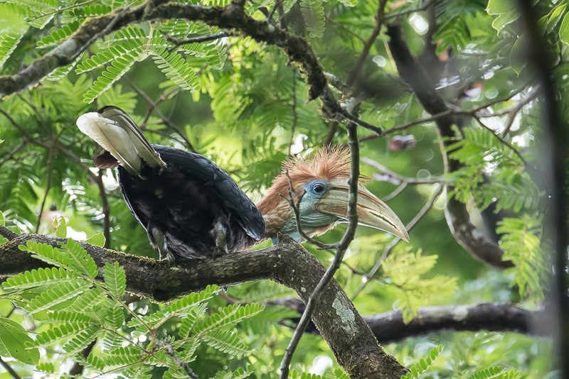 Yellow-casqued Hornbill