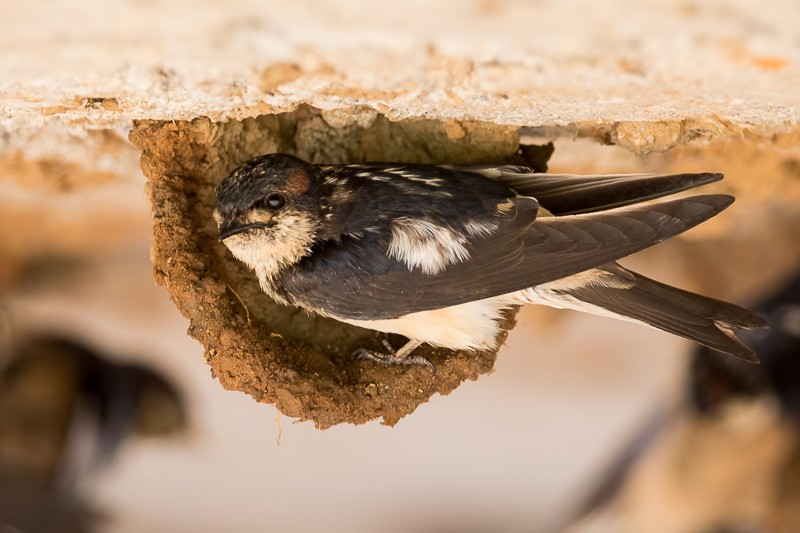 Preuss's Cliff Swallow