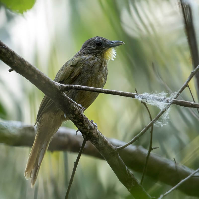 Western Bearded Greenbul