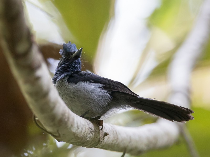 Blue-headed Crested Flycatcher