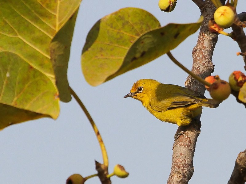 Northern Yellow White-eye