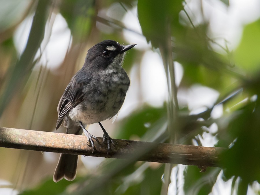 White-browed Forest Flycatcher