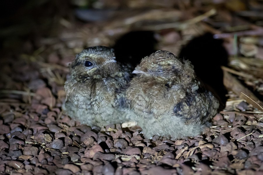 Black-shouldered Nightjar