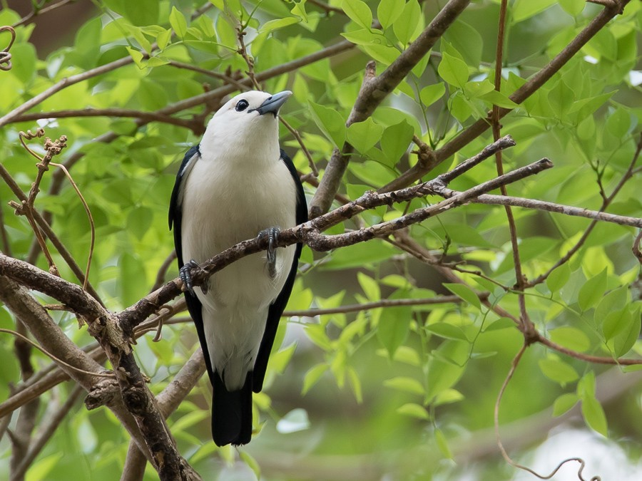 White-headed Vanga