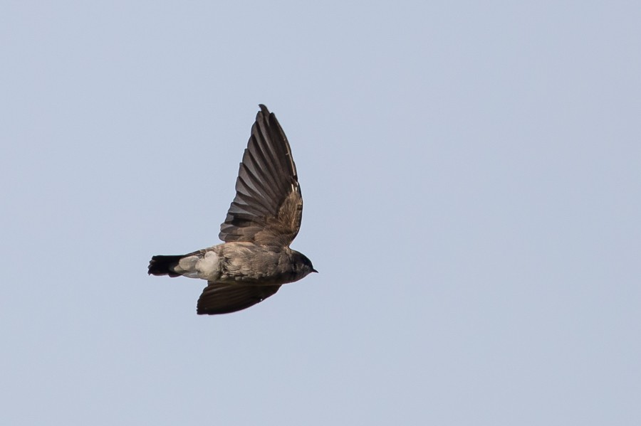 Brown-throated Martin