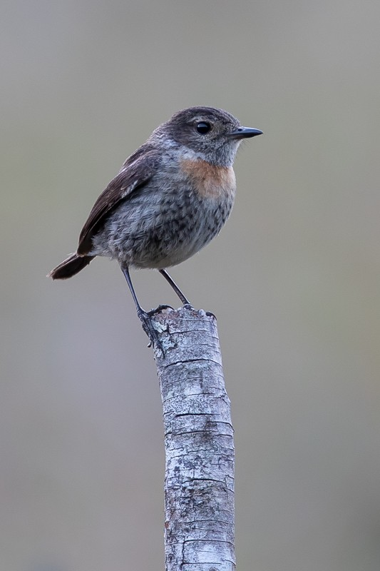 Madgascan Stonechat