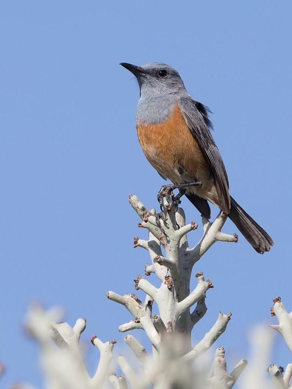 Littoral Rock Thrush