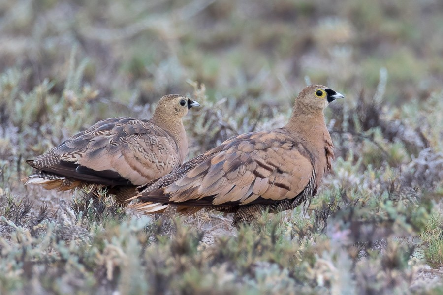 Madagascan Sandgrouse