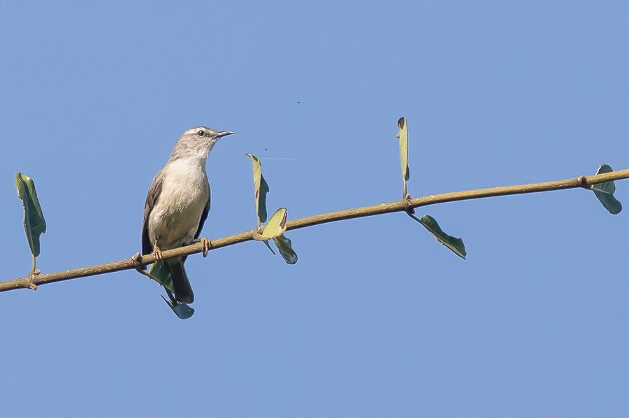Rand's Warbler