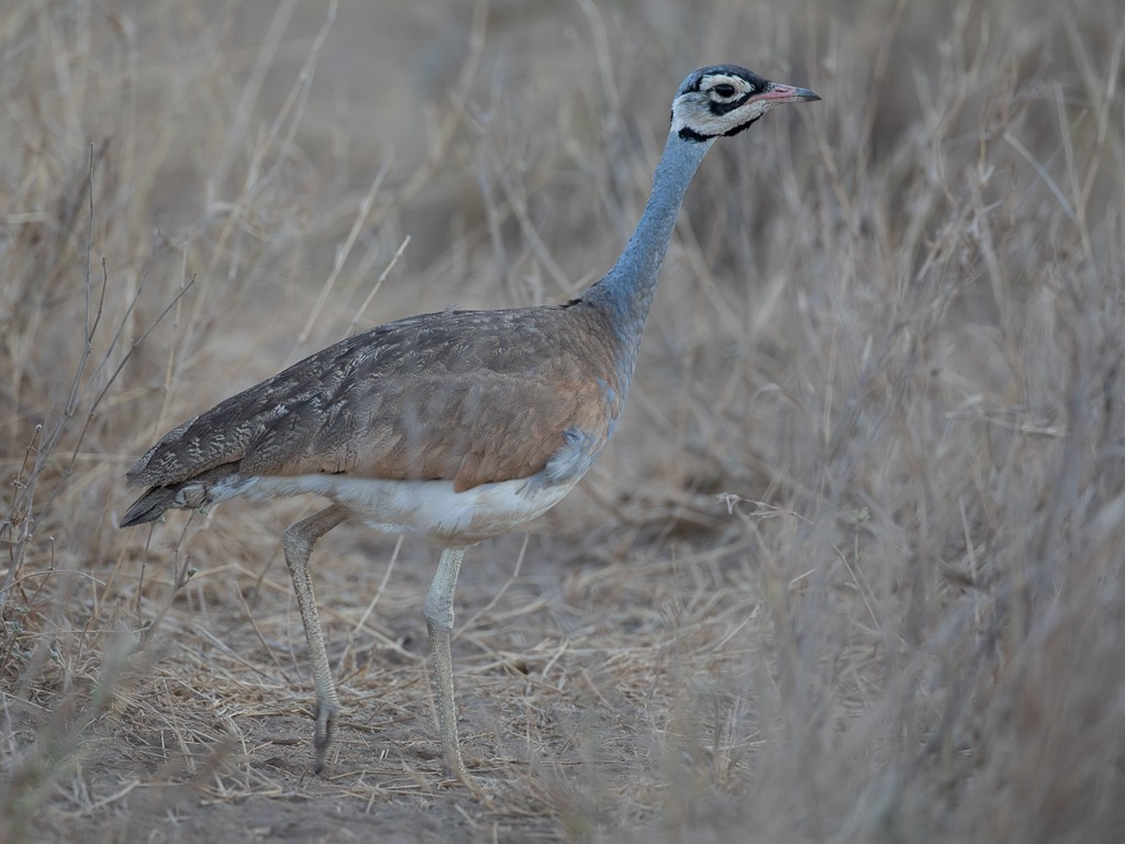 White-bellied Bustard