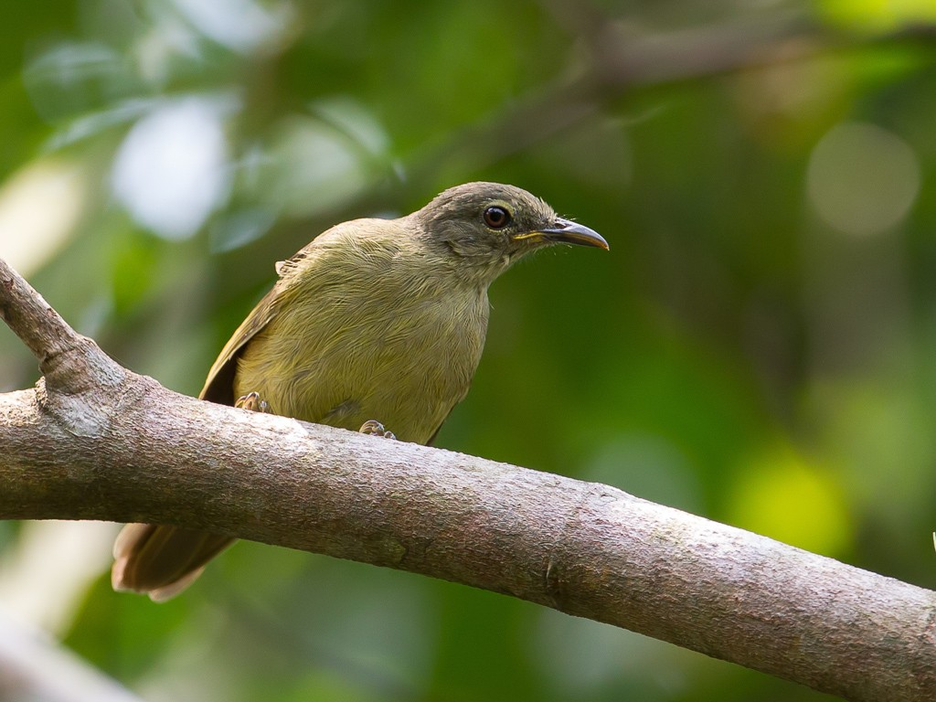 Plain Greenbul