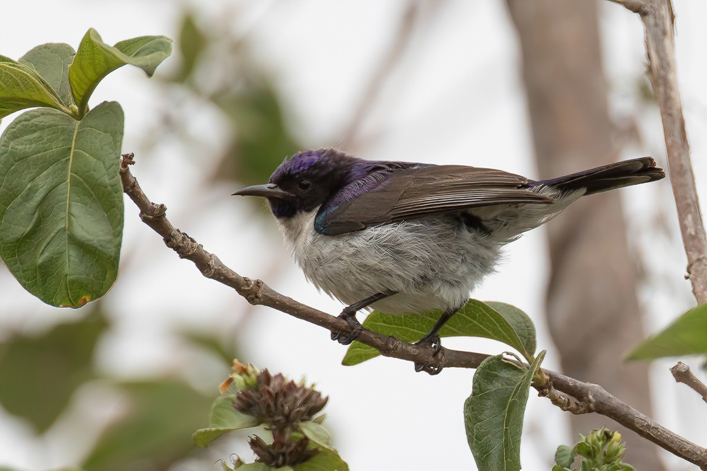Eastern Violet-backed Sunbird