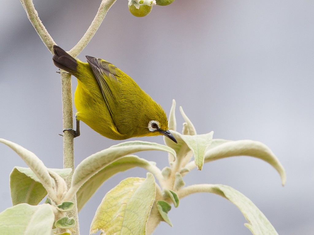 Karthala White-eye