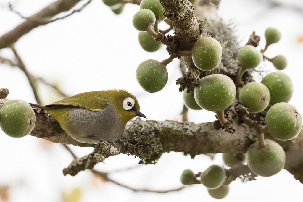 Taita White-eye