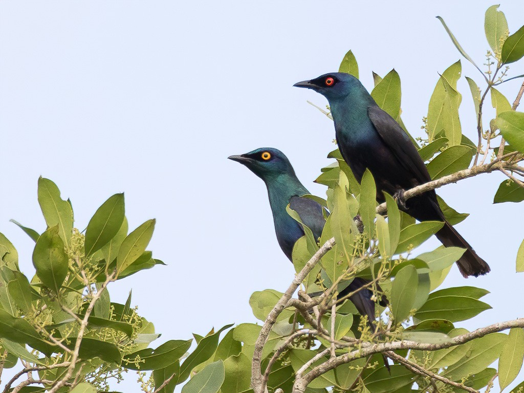 Black-bellied Starlings