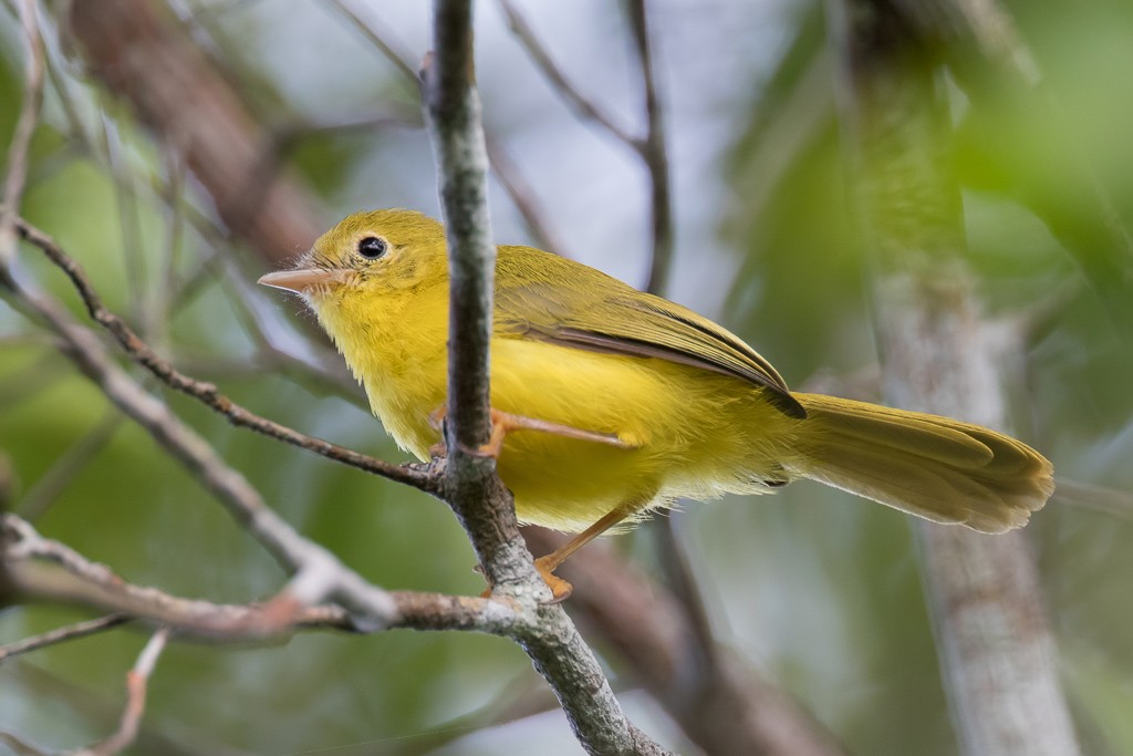 Little Yellow Flycatcher
