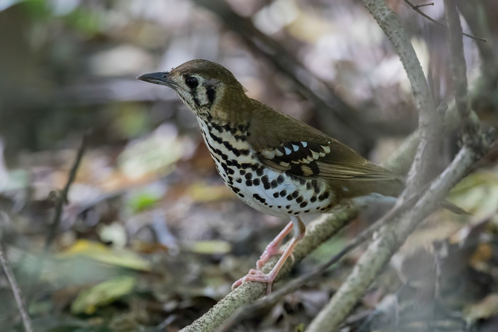 Spotted Ground Thrush