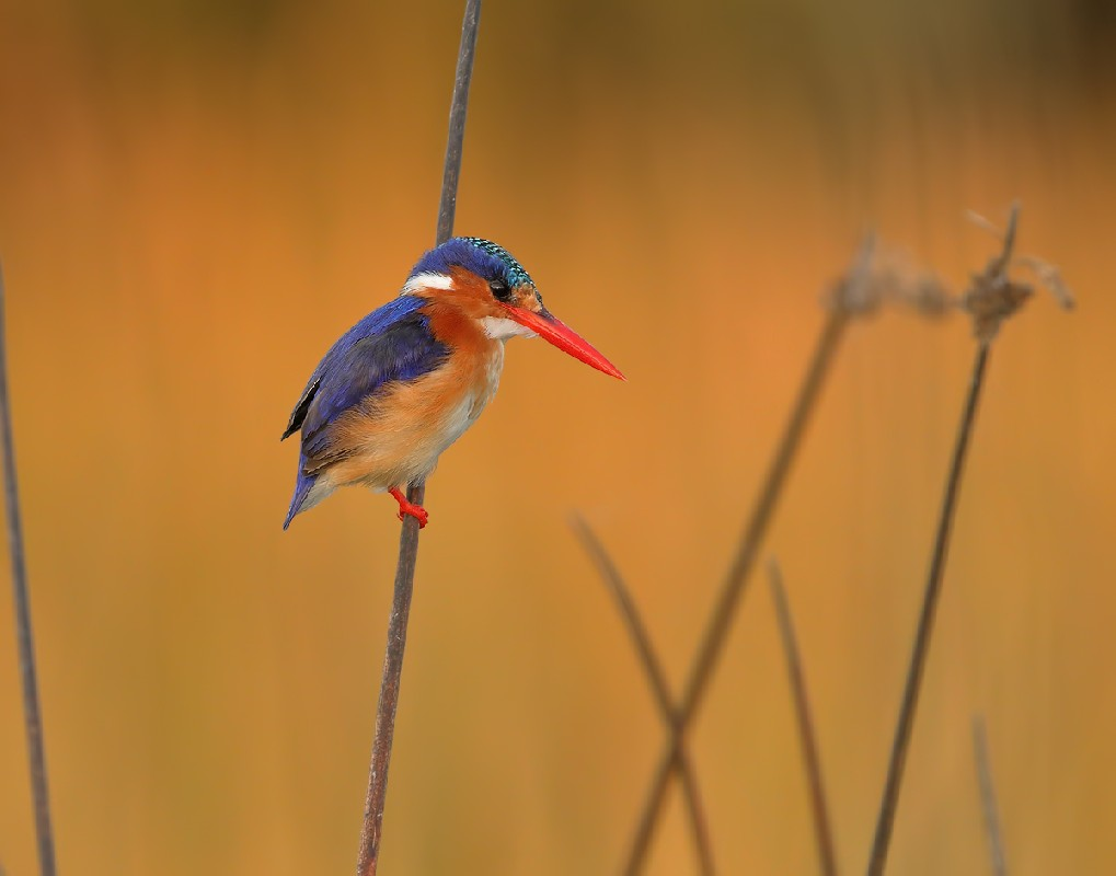 Malachite Kingfisher in late afternoon light