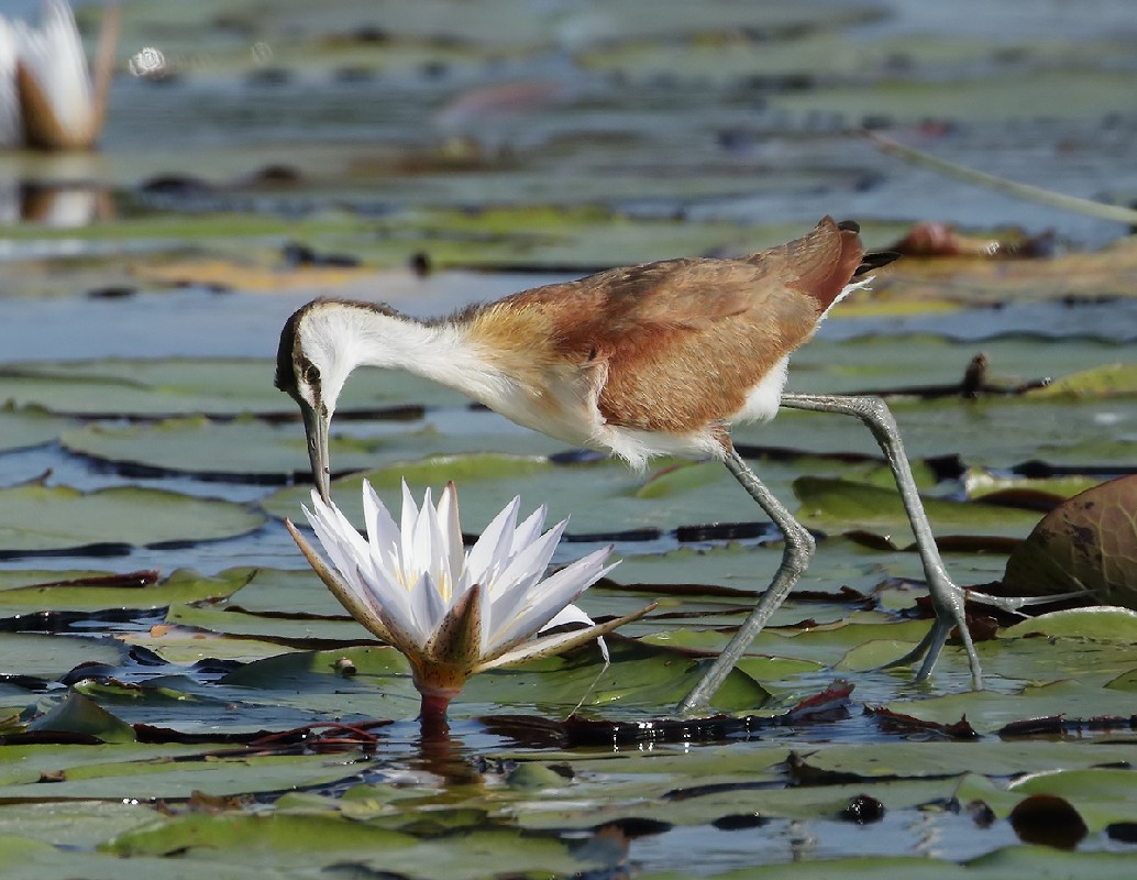 Jacana and water lily