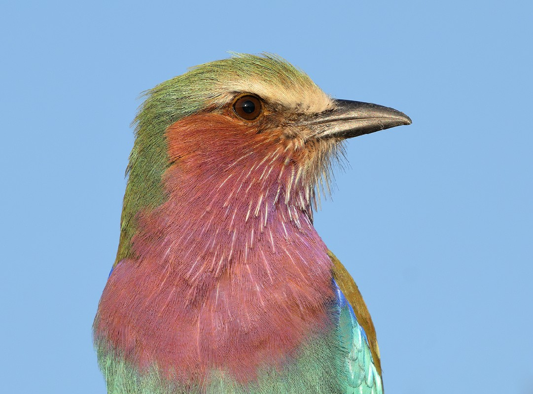 Lilac-breasted roller portrait