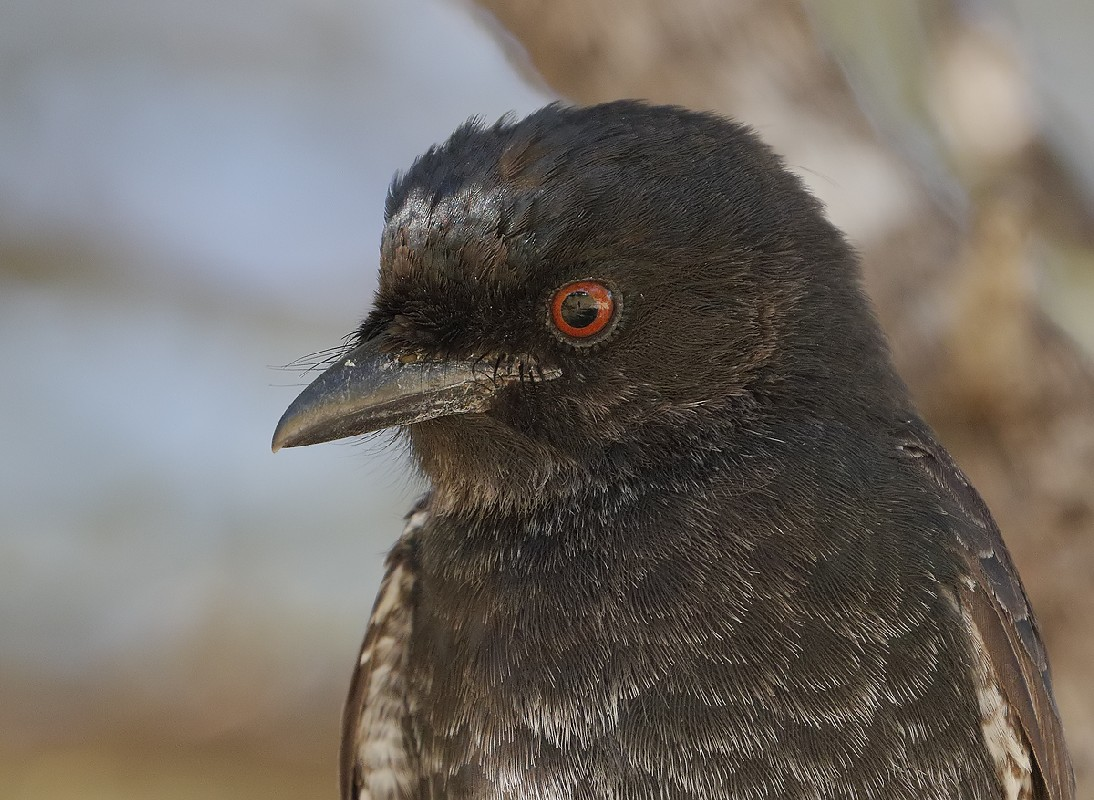 Fork-tailed drongo portrait
