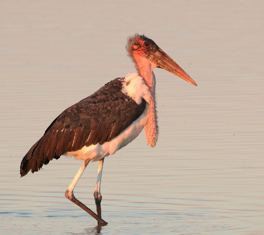 Maribou Stork (juv) in late afternoon light