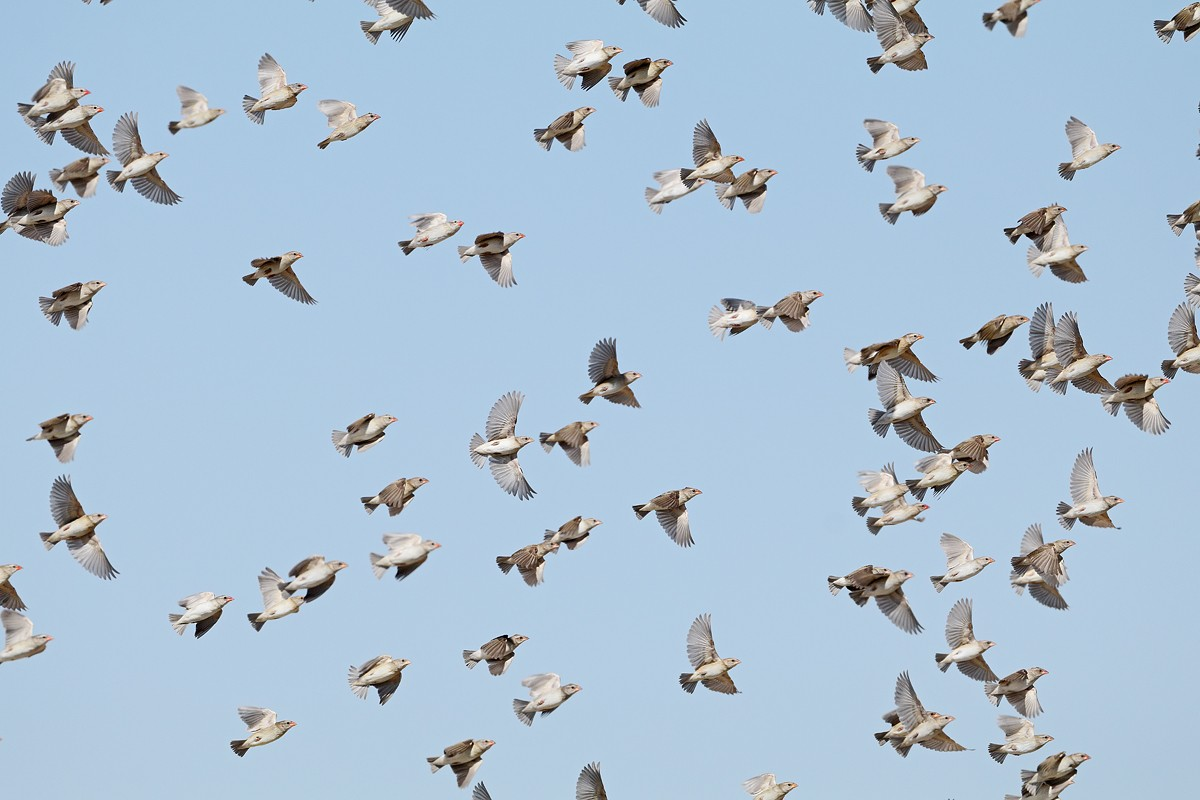 Red-billed Quelea flock on the wing