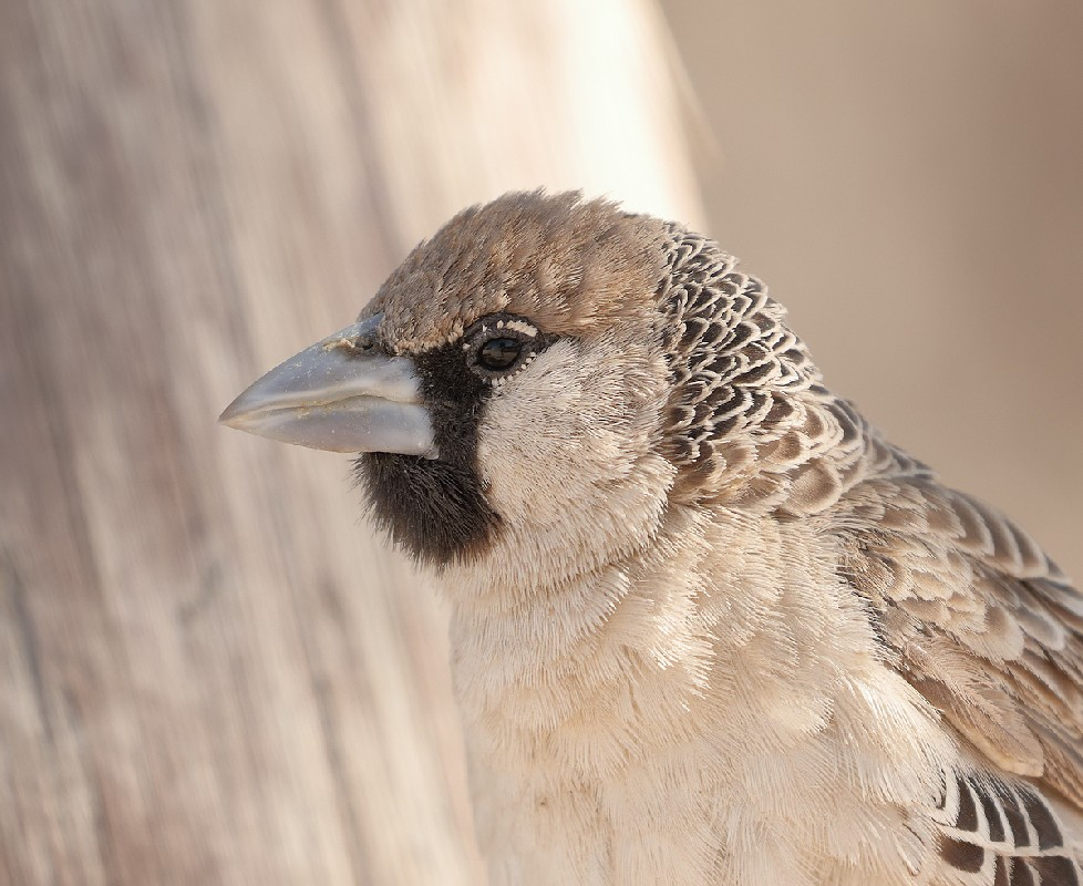 Sociable Weaver portrait