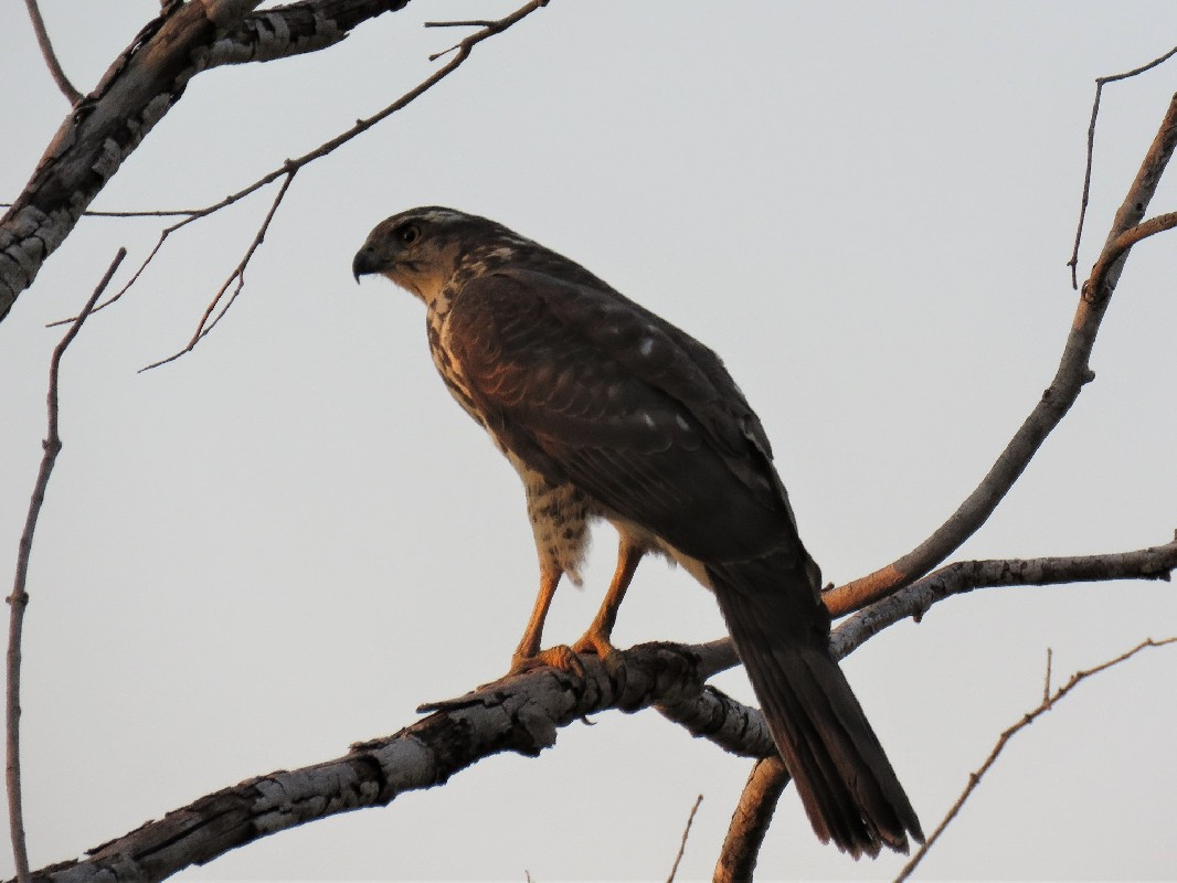 Black Sparrowhawk perched outside our room at River Dance Lodge, Nr Divindu, Namibia