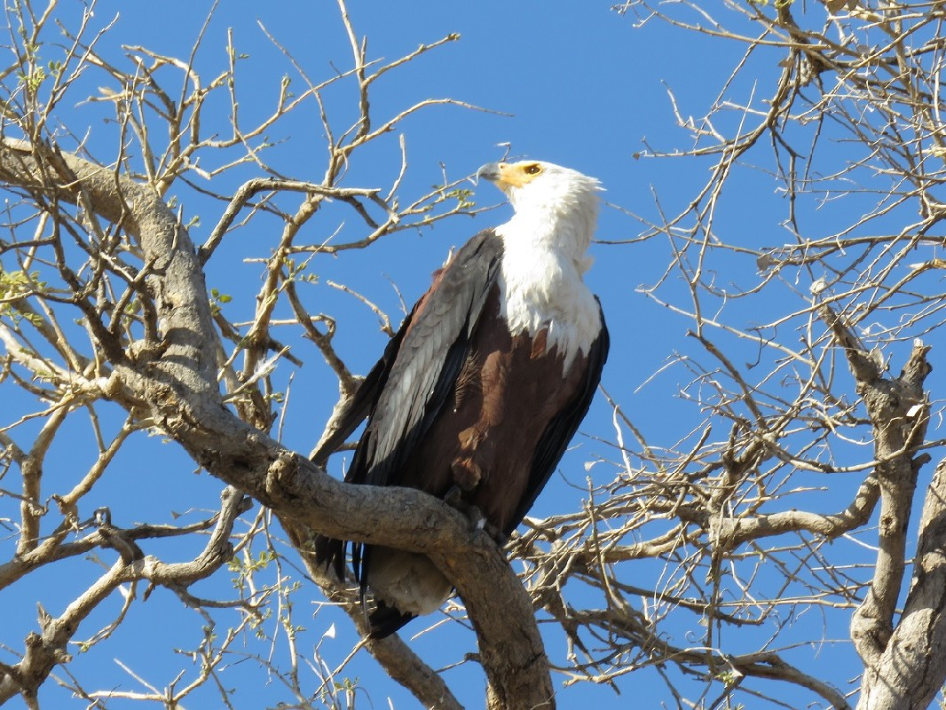 African Fish Eagle perched in a tree overlooking Chobe River