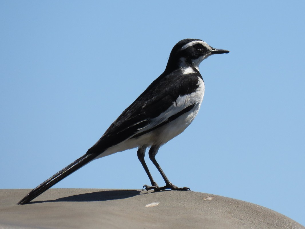 African Pied Wagtail on the banks of the Chobe River