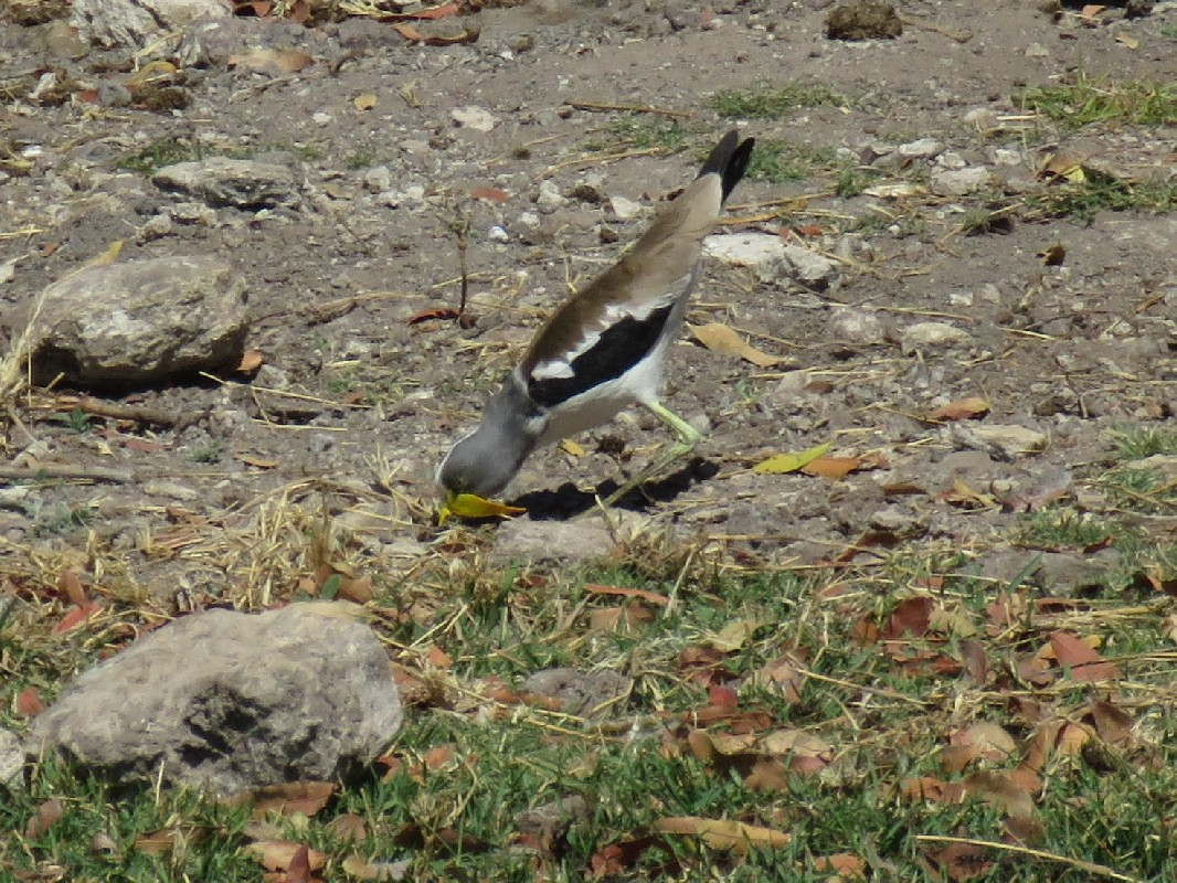 White-crowned Lapwing collecting leaves on the banks of the Chobe River.