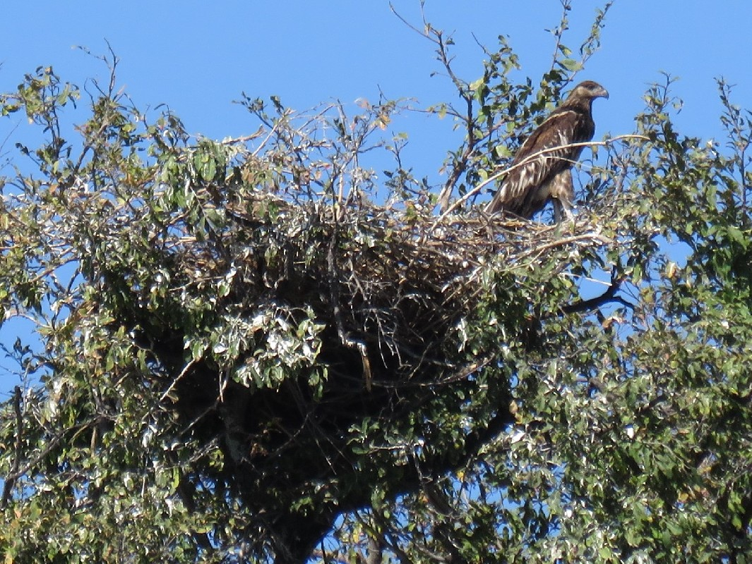 Juvenile African Fish Eagle on the nest.