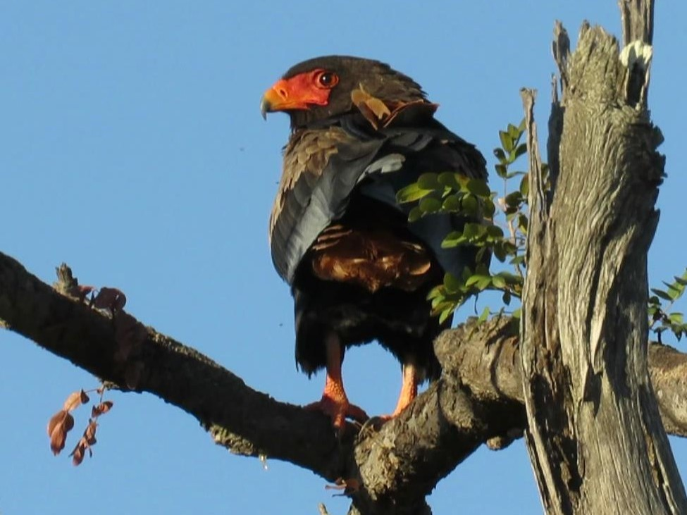 Bateleur, it was feeding on a road kill as we drove back to Chobe Elephant Camp