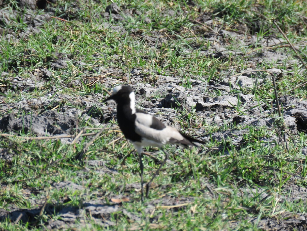 Blacksmith Lapwing feeding on the banks of the Chobe River