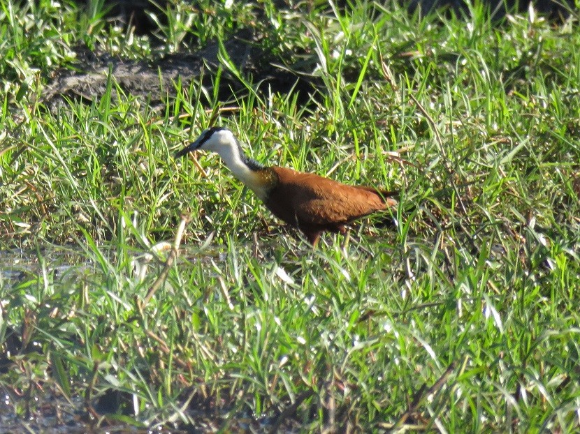 African Jacana on the banks of the Chobe River