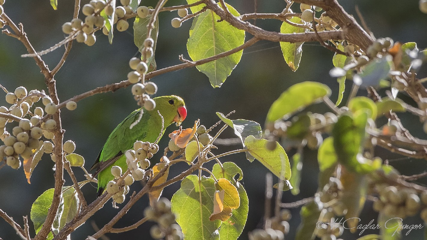 Black-winged Lovebird feeding on Tree