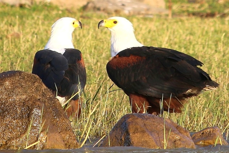 Two African Fish Eagles on the border of Lake Ziway