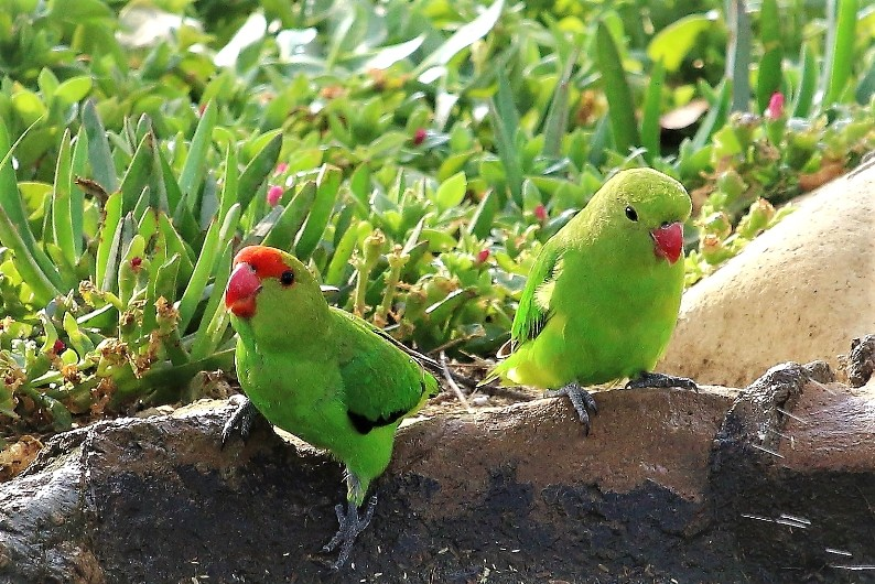 pair of Black-winged Lovebirds