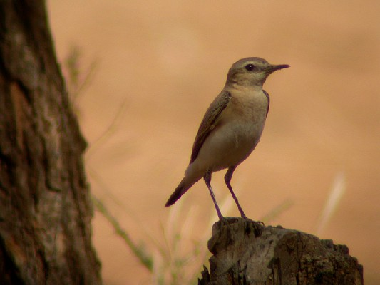 Northern Wheatear - Traquet motteux