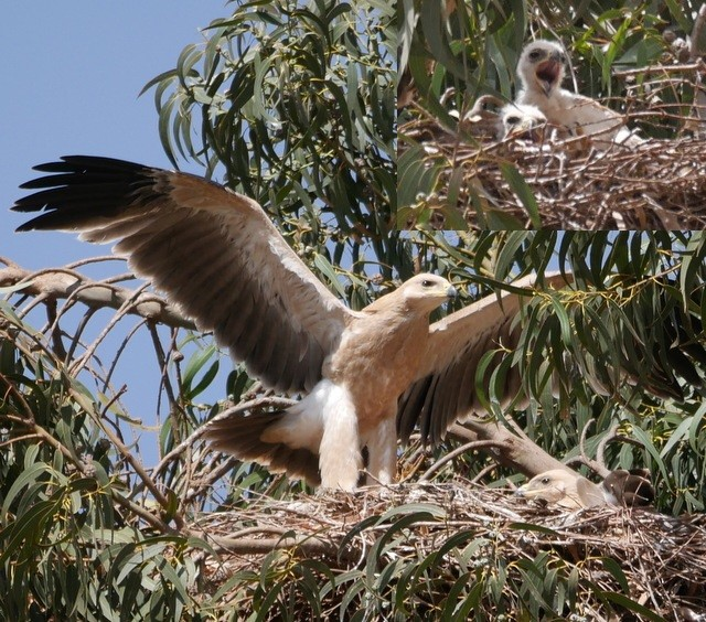 Tawny Eagle, growing up from febr. 17 to march 24